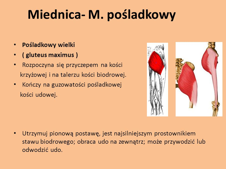 Miednica- M.