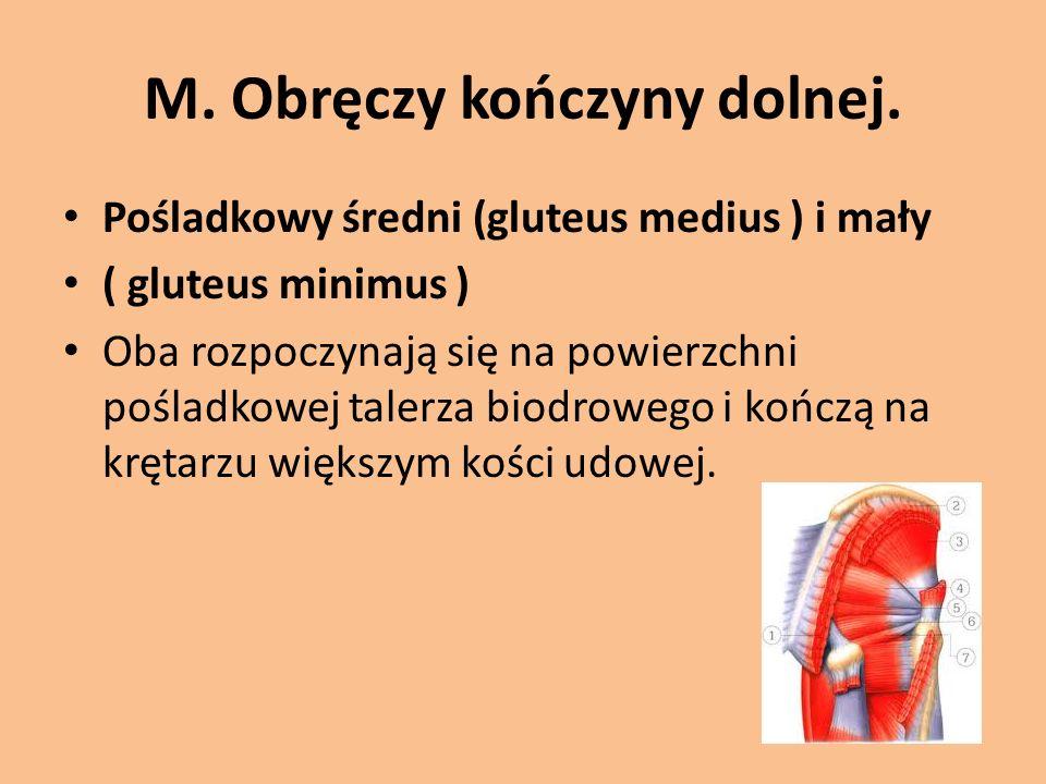 M. Obręczy kończyny dolnej. Pośladkowy średni (gluteus medius ) i mały ( gluteus minimus ) Oba rozpoczynają się na powierzchni pośladkowej talerza bio