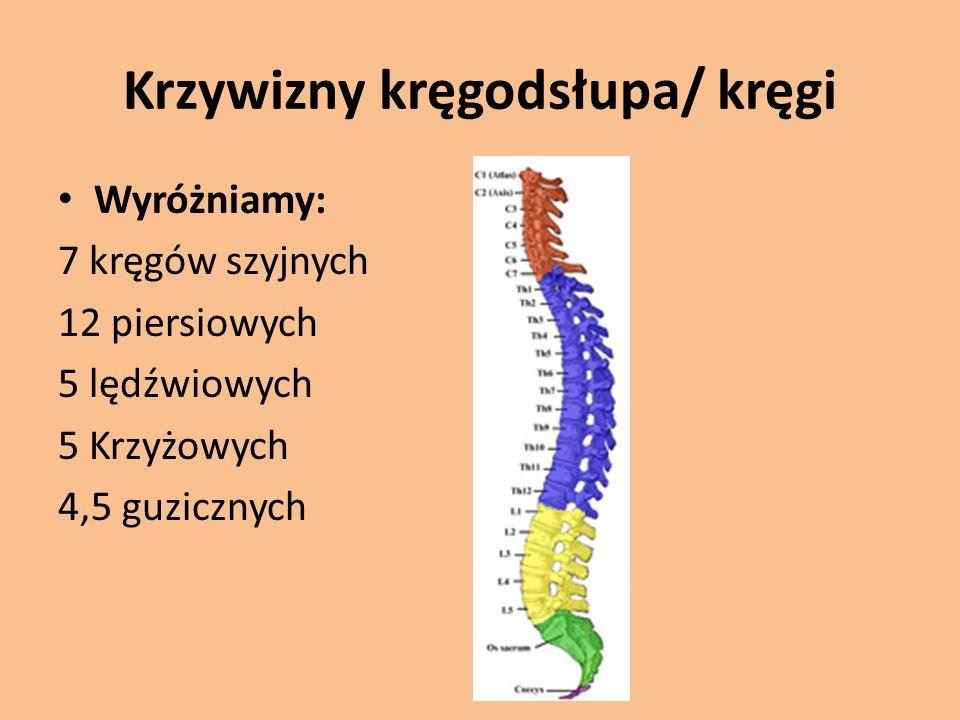 Krzywizny kręgodsłupa/ kręgi Wyróżniamy: 7 kręgów szyjnych 12 piersiowych 5 lędźwiowych 5 Krzyżowych 4,5 guzicznych