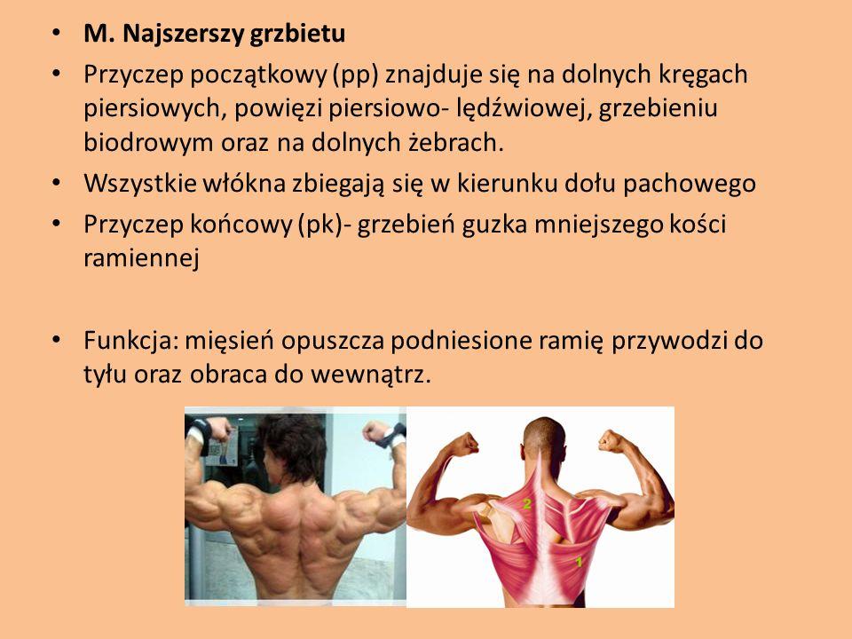 M. Najszerszy grzbietu Przyczep początkowy (pp) znajduje się na dolnych kręgach piersiowych, powięzi piersiowo- lędźwiowej, grzebieniu biodrowym oraz
