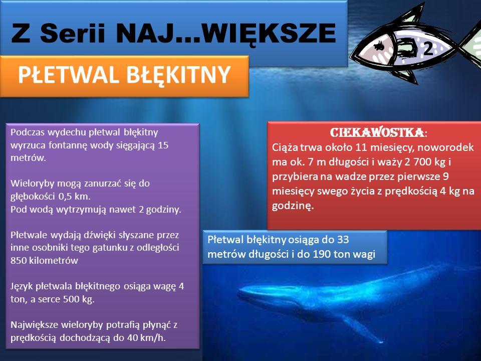 Z Serii NAJ…WIĘKSZE PŁETWAL BŁĘKITNY 2 Płetwal błękitny osiąga do 33 metrów długości i do 190 ton wagi Ciekawostka : Ciąża trwa około 11 miesięcy, noworodek ma ok.