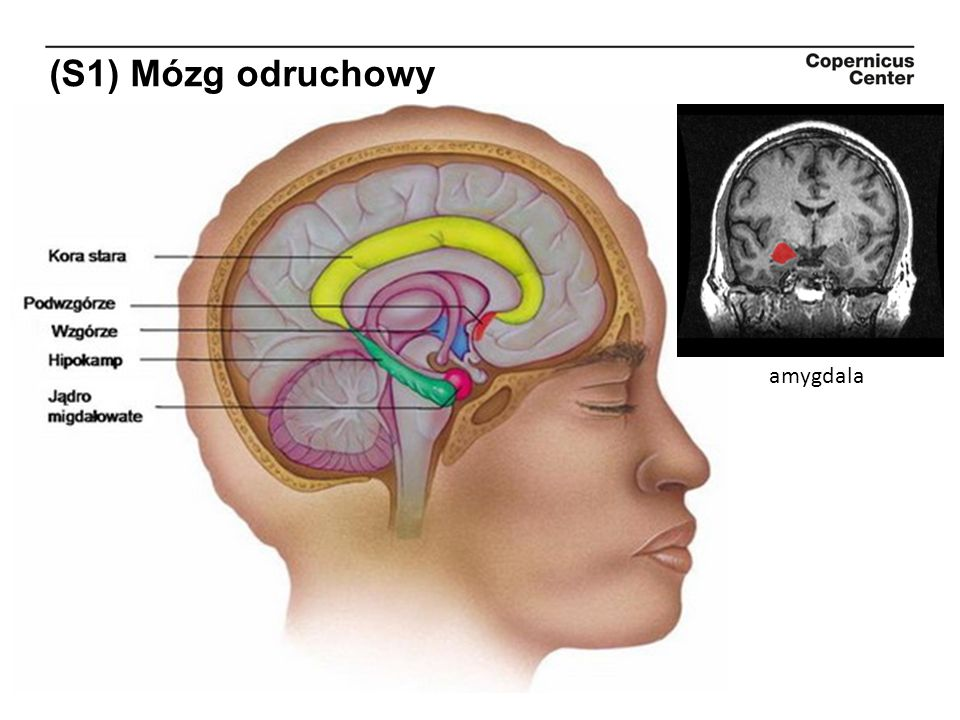 (S1) Mózg odruchowy amygdala