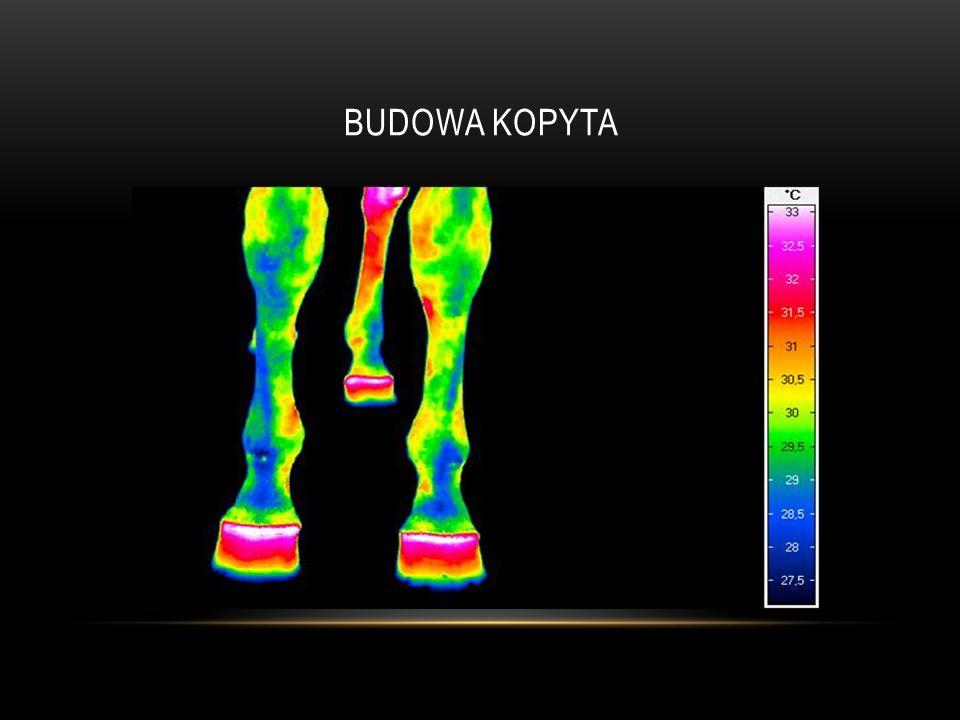 OCHWAT KOPYTA Przy braku rezultatów leczenia farmakologicznego, można zastosować zabieg fenestracji puszki kopytowej lub/i przecięcie ścięgna mięśnia zginacza głębokiego palca w celu zapobieżenia rotacji kości kopytowej.