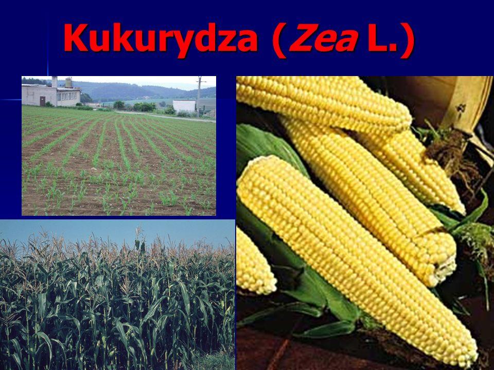 Plemię: kukurydzowate Maydeae Rodzaj: Kukurydza Zea. Gatunek: kukurydza uprawna Zea mays L.