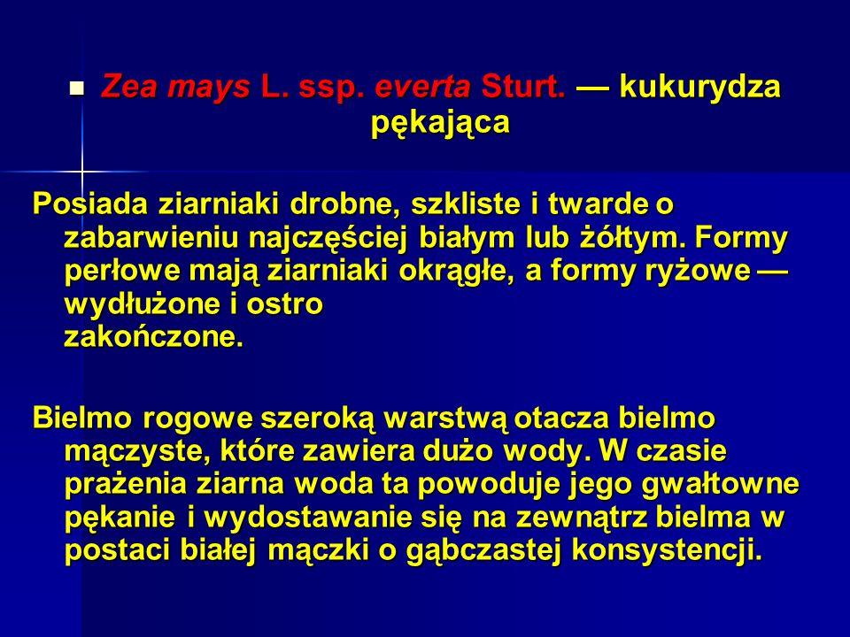 Zea mays L.ssp. everta Sturt. kukurydza pękająca Zea mays L.
