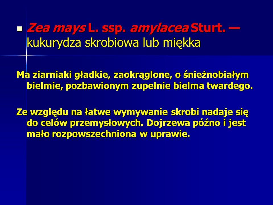 Zea mays L.ssp. amylacea Sturt. kukurydza skrobiowa lub miękka Zea mays L.