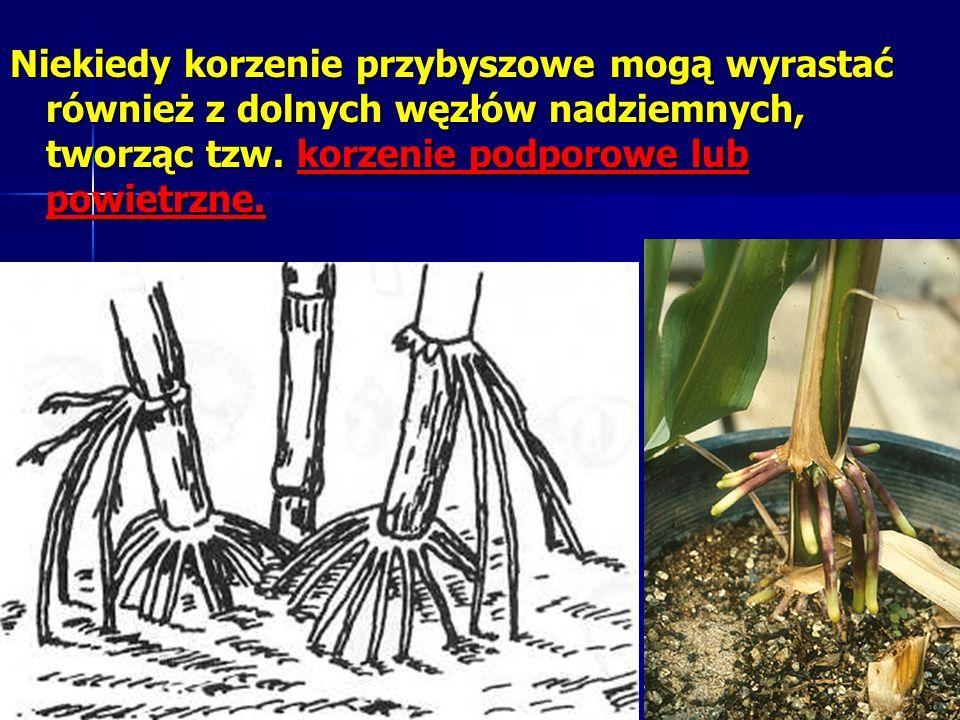 Niekiedy korzenie przybyszowe mogą wyrastać również z dolnych węzłów nadziemnych, tworząc tzw.