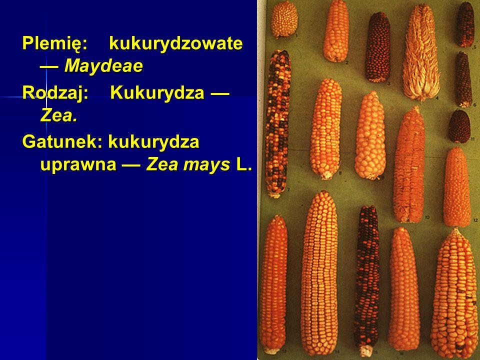 Podstawą podziału gatunku Zea mays na podgatunki są cechy budowy wewnętrznej ziarniaka.