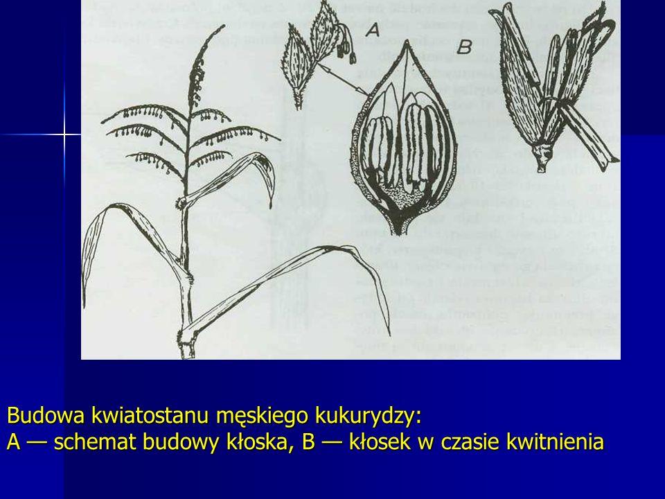 Budowa kwiatostanu męskiego kukurydzy: A schemat budowy kłoska, B kłosek w czasie kwitnienia