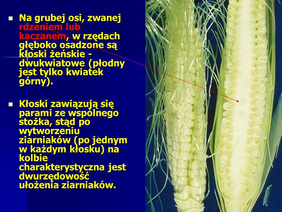 Na grubej osi, zwanej rdzeniem lub kaczanem, w rzędach głęboko osadzone są kłoski żeńskie - dwukwiatowe (płodny jest tylko kwiatek górny).