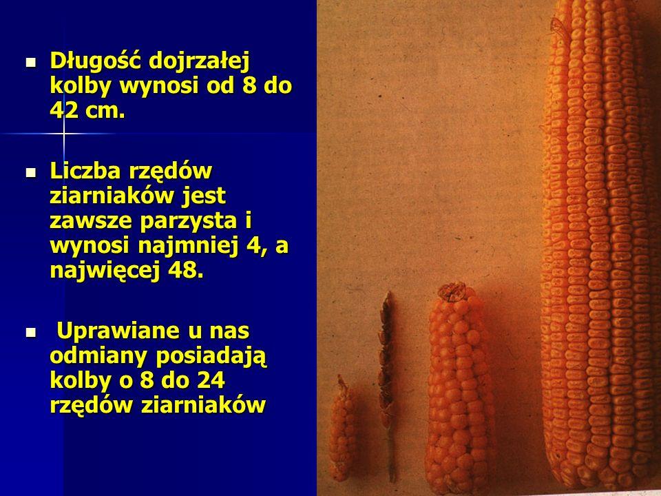Długość dojrzałej kolby wynosi od 8 do 42 cm.Długość dojrzałej kolby wynosi od 8 do 42 cm.