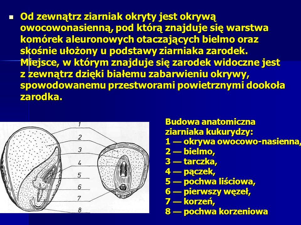 Od zewnątrz ziarniak okryty jest okrywą owocowonasienną, pod którą znajduje się warstwa komórek aleuronowych otaczających bielmo oraz skośnie ułożony u podstawy ziarniaka zarodek.
