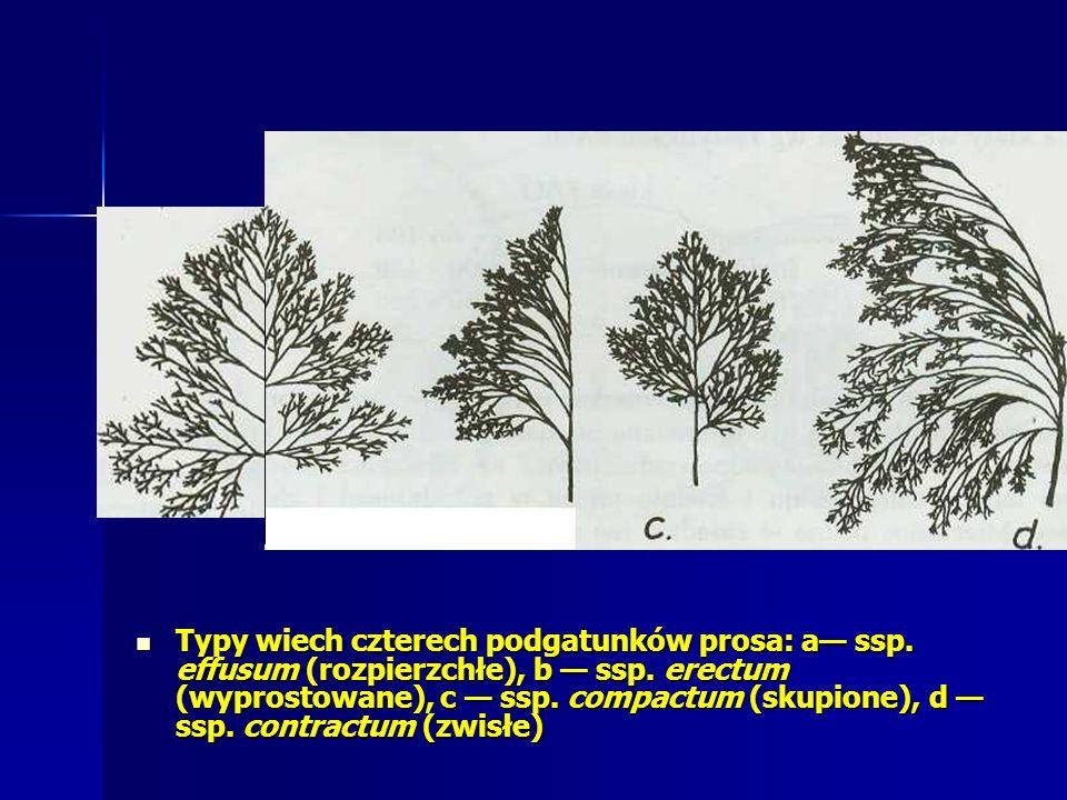 Typy wiech czterech podgatunków prosa: a ssp.effusum (rozpierzchłe), b ssp.