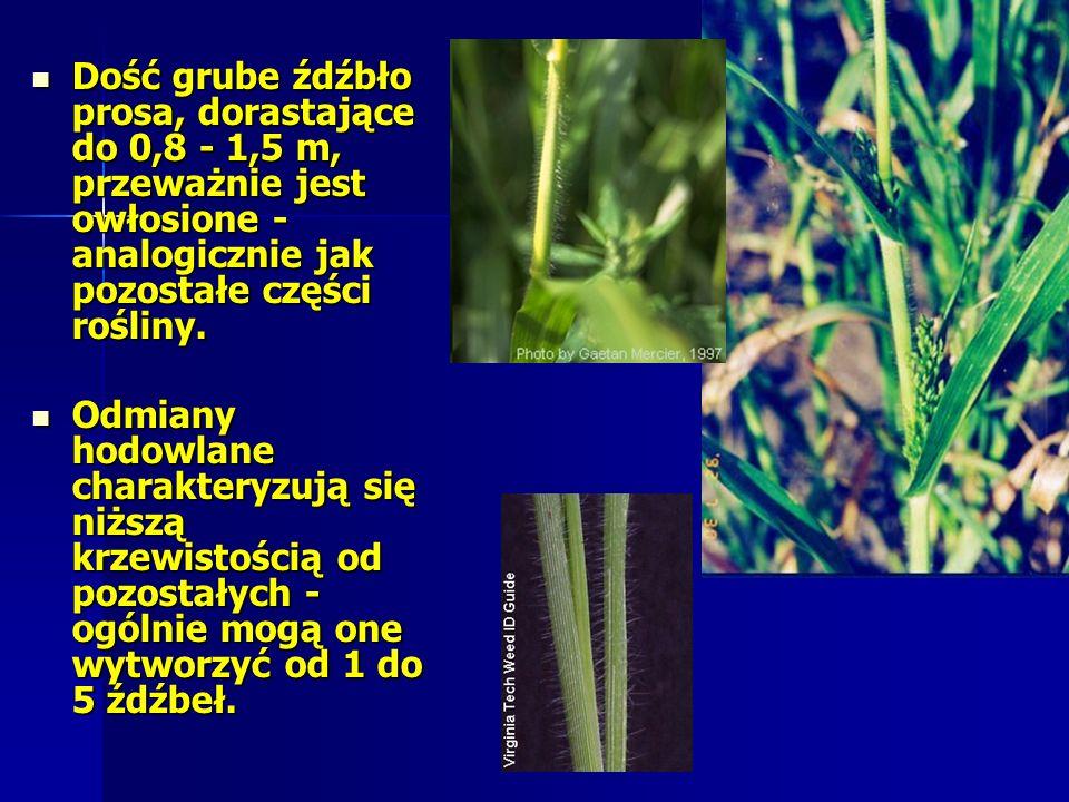 Dość grube źdźbło prosa, dorastające do 0,8 - 1,5 m, przeważnie jest owłosione - analogicznie jak pozostałe części rośliny.