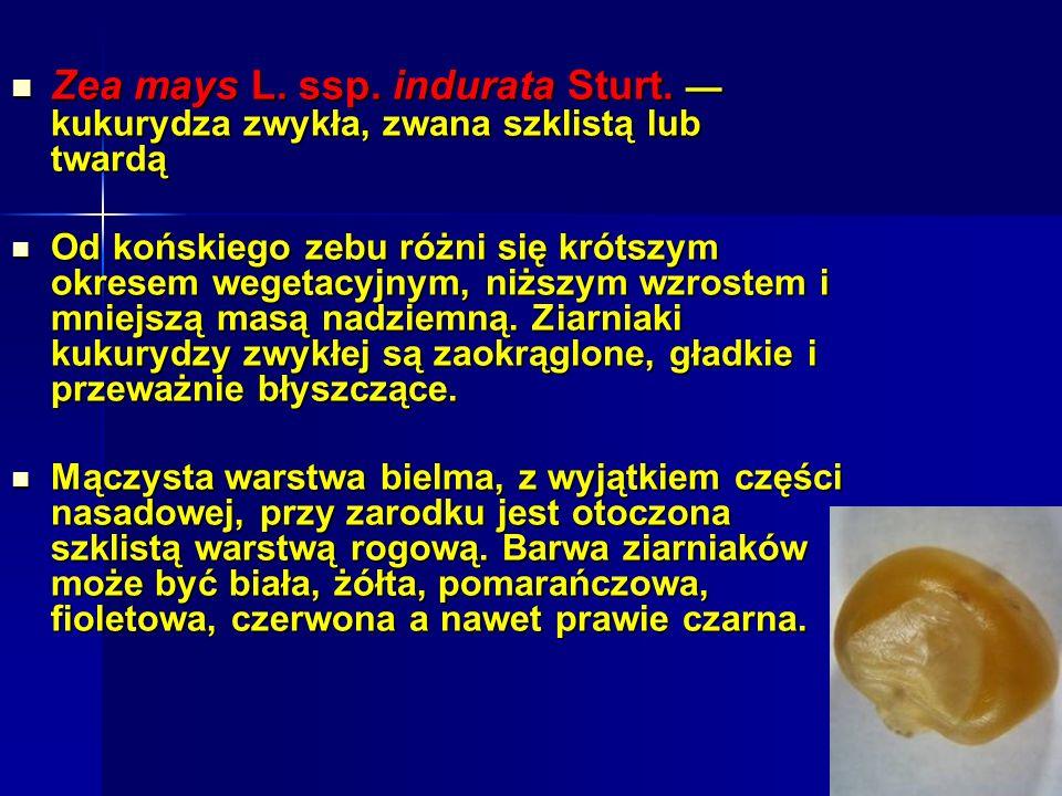 Zea mays L.ssp. indurata Sturt. kukurydza zwykła, zwana szklistą lub twardą Zea mays L.