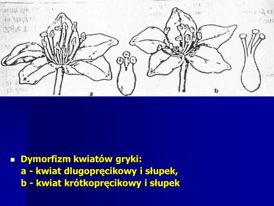 Dymorfizm kwiatów gryki: Dymorfizm kwiatów gryki: a - kwiat dlugopręcikowy i słupek, a - kwiat dlugopręcikowy i słupek, b - kwiat krótkopręcikowy i słupek b - kwiat krótkopręcikowy i słupek