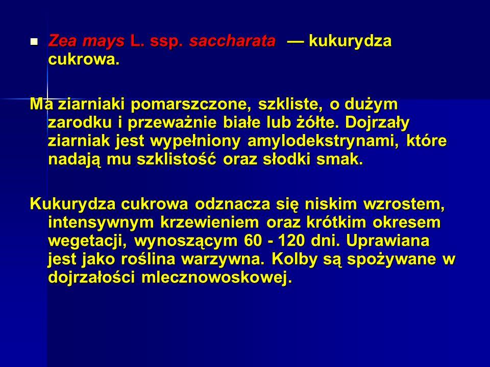 Zea mays L.ssp. saccharata kukurydza cukrowa. Zea mays L.