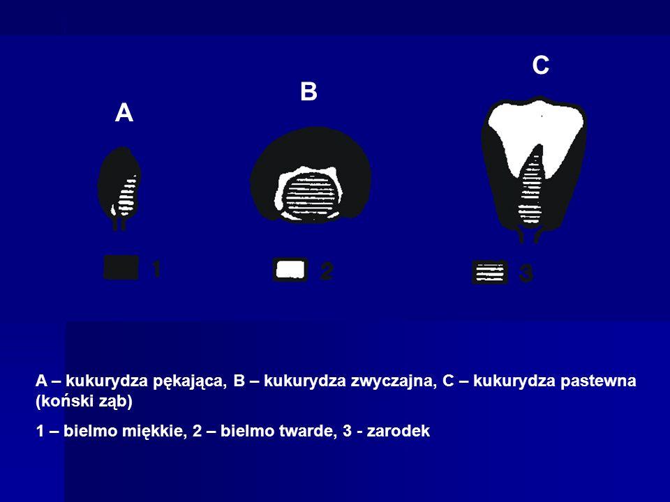 A – kukurydza pękająca, B – kukurydza zwyczajna, C – kukurydza pastewna (koński ząb) 1 – bielmo miękkie, 2 – bielmo twarde, 3 - zarodek A B C