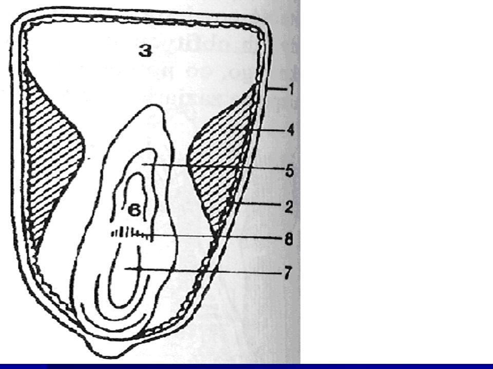 1 – okrywa owocowo nasienna 2 – warstwa komórek aleuronowych 3 – bielmo mączyste (miękkie) 4 – bielmo rogowe (twarde) 5 – koleoptyle 6 – wierzchołek wzrostu łodygi z zawiązkami liści 7 – korzeń zarodkowy 8 – pierwotne korzenie przybyszowe