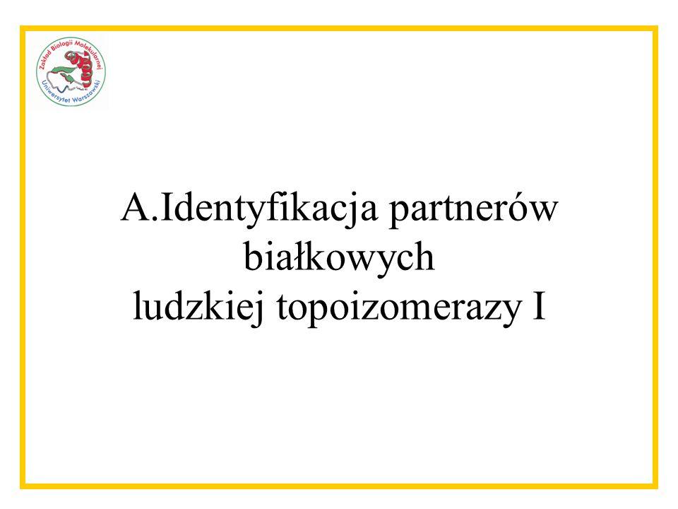 A.Identyfikacja partnerów białkowych ludzkiej topoizomerazy I