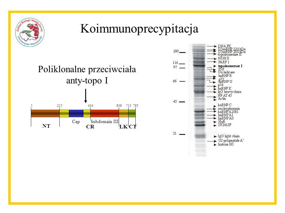 Koimmunoprecypitacja 1215434636713765 NT CRLKCT CapSubdomain III Poliklonalne przeciwciała anty-topo I