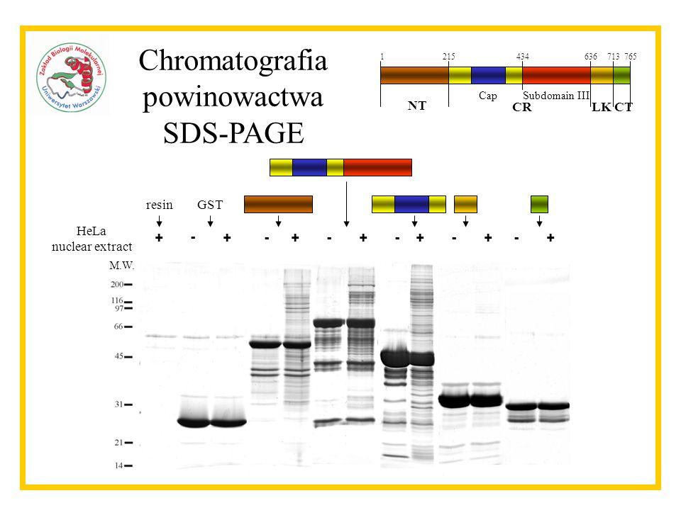 1215434636713765 NT CRLKCT CapSubdomain III Chromatografia powinowactwa SDS-PAGE HeLa nuclear extract + - ++++++----- resinGST M.W.