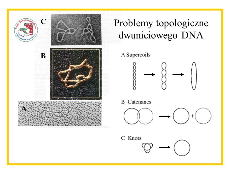 Problemy topologiczne dwuniciowego DNA C B A