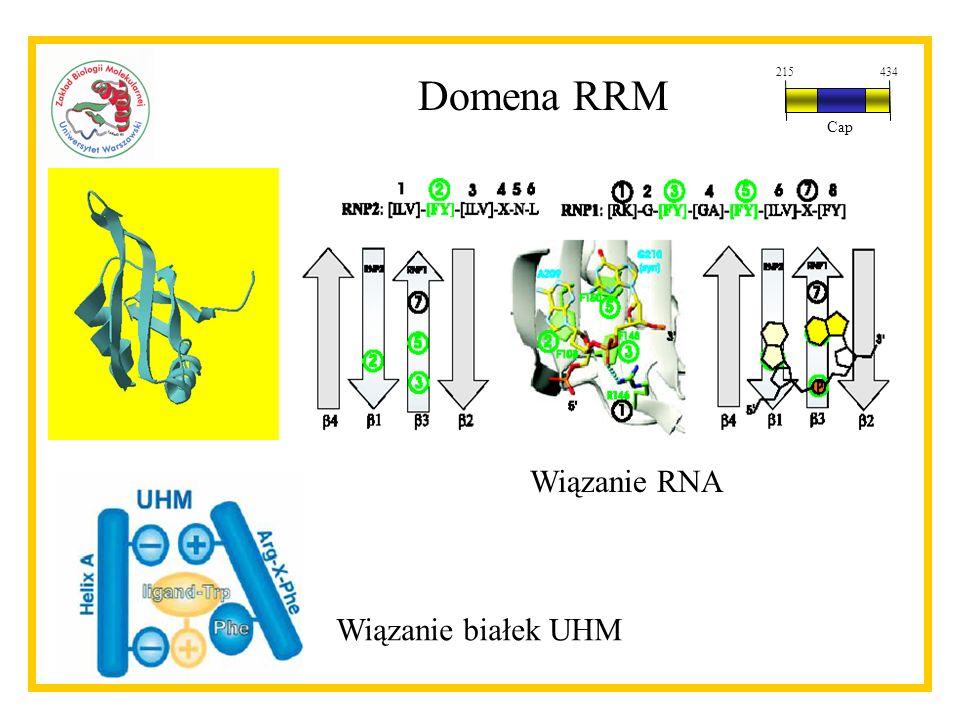 Domena RRM Wiązanie RNA Wiązanie białek UHM 215434 Cap