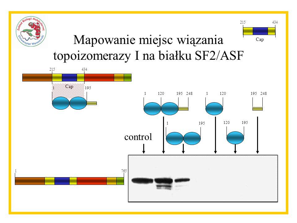 215434 Cap 1195 Mapowanie miejsc wiązania topoizomerazy I na białku SF2/ASF control 2481195120 1195 1120 195120 248195 1765 215434 Cap