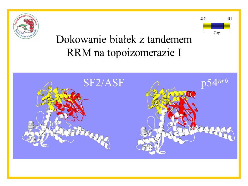 Dokowanie białek z tandemem RRM na topoizomerazie I p54 nrb SF2/ASF 215434 Cap