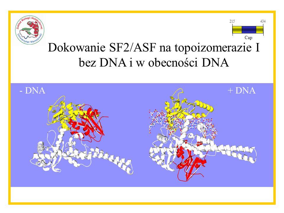 Dokowanie SF2/ASF na topoizomerazie I bez DNA i w obecności DNA - DNA+ DNA 215434 Cap