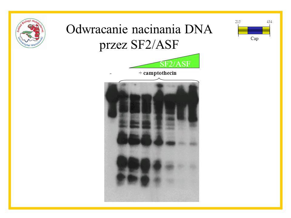 SF2/ASF + camptothecin- Odwracanie nacinania DNA przez SF2/ASF 215434 Cap
