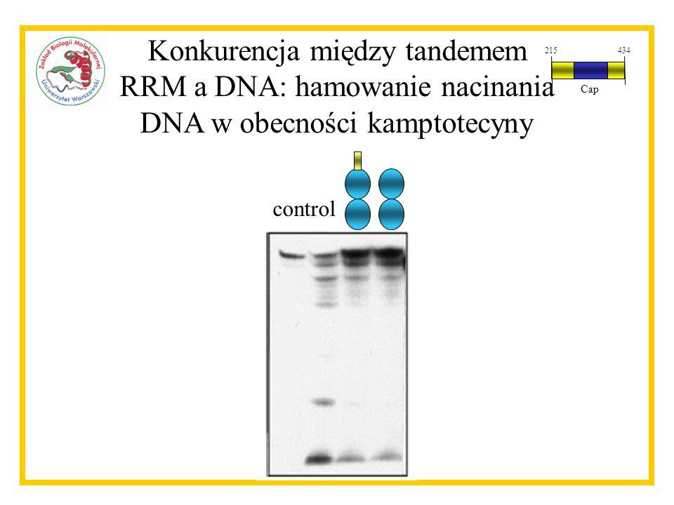 Konkurencja między tandemem RRM a DNA: hamowanie nacinania DNA w obecności kamptotecyny control 215434 Cap