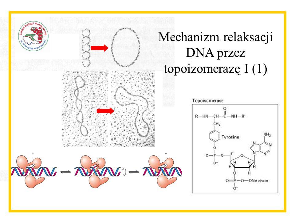 Mechanizm relaksacji DNA przez topoizomerazę I (1)