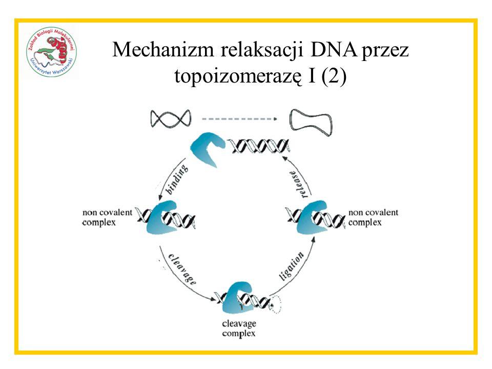 Białka oddziałujące z topoizomerazą I zidentyfikowane we wcześniejszych pracach Znalezione w tej pracy: H1d H1x nucleolin PARP-1 PSF p54 nrb SF2/ASF fibrillarin Nieznalezione w tej pracy: ARF CK2 PCNA RNA polymerase II TBP topors WRN p53
