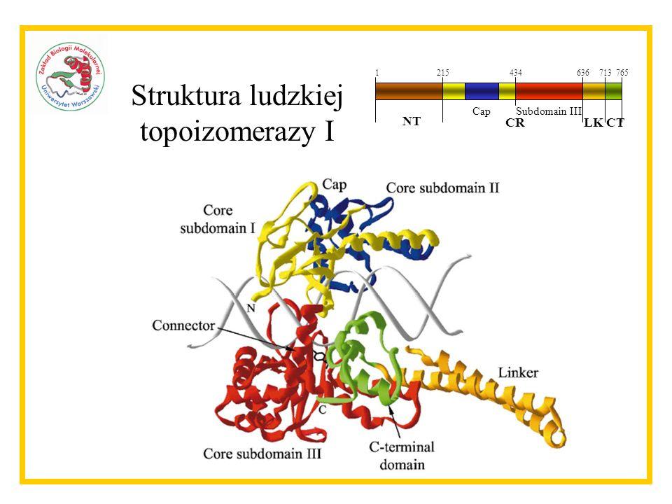 Aktywności topoizomerazy I Kinazowa Relaksacyjna 1215434636713765 NT CRLKCT CapSubdomain III ASF/SF2 pBR322 CPT - + Nacinanie DNA