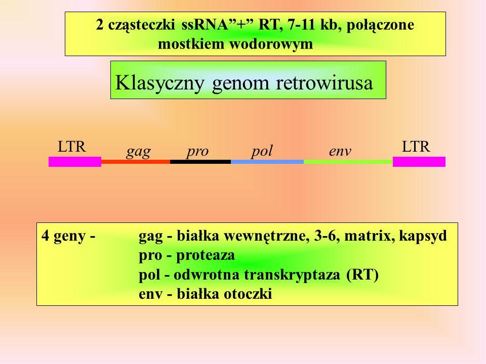 LTR gagpolenvpro Klasyczny genom retrowirusa 4 geny - gag - białka wewnętrzne, 3-6, matrix, kapsyd pro - proteaza pol - odwrotna transkryptaza (RT) env - białka otoczki 2 cząsteczki ssRNA+ RT, 7-11 kb, połączone mostkiem wodorowym