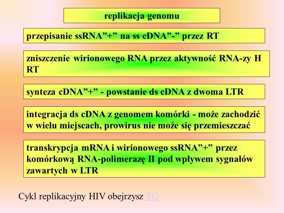 replikacja genomu przepisanie ssRNA+ na ss cDNA- przez RT zniszczenie wirionowego RNA przez aktywność RNA-zy H RT synteza cDNA+ - powstanie ds cDNA z dwoma LTR integracja ds cDNA z genomem komórki - może zachodzić w wielu miejscach, prowirus nie może się przemieszczać transkrypcja mRNA i wirionowego ssRNA+ przez komórkową RNA-polimerazę II pod wpływem sygnałów zawartych w LTR Cykl replikacyjny HIV obejrzysz TUTU