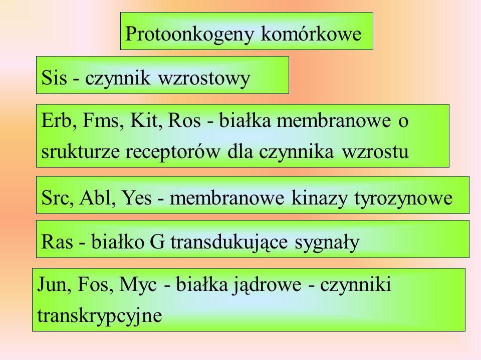 Protoonkogeny komórkowe Sis - czynnik wzrostowy Erb, Fms, Kit, Ros - białka membranowe o srukturze receptorów dla czynnika wzrostu Src, Abl, Yes - membranowe kinazy tyrozynowe Ras - białko G transdukujące sygnały Jun, Fos, Myc - białka jądrowe - czynniki transkrypcyjne