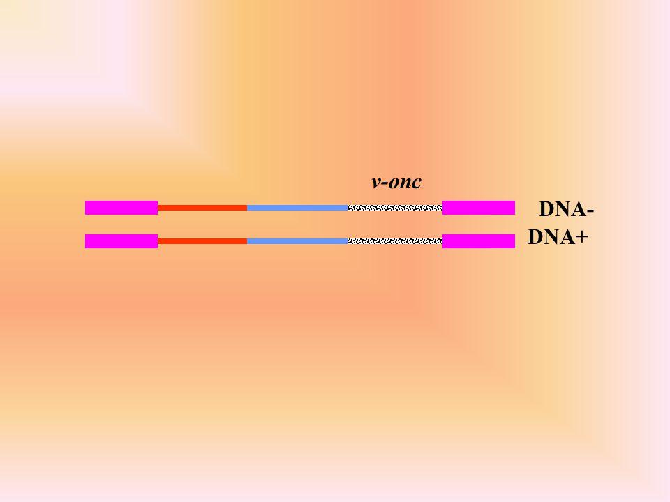 DNA+ v-onc DNA-