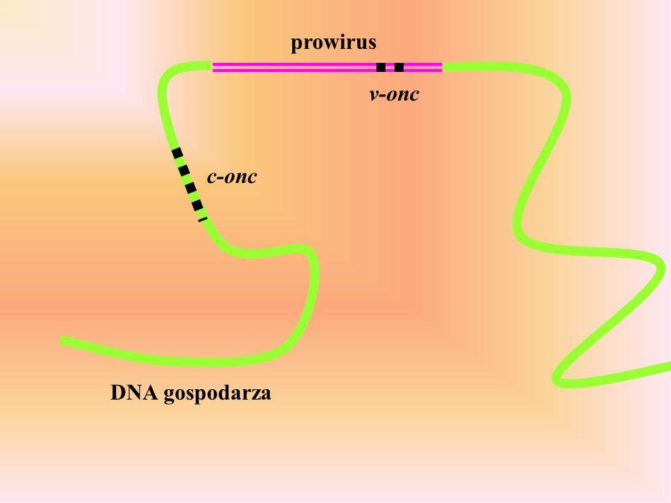 DNA gospodarza c-onc v-onc prowirus