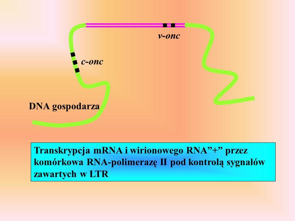DNA gospodarza c-onc v-onc Transkrypcja mRNA i wirionowego RNA+ przez komórkowa RNA-polimerazę II pod kontrolą sygnałów zawartych w LTR