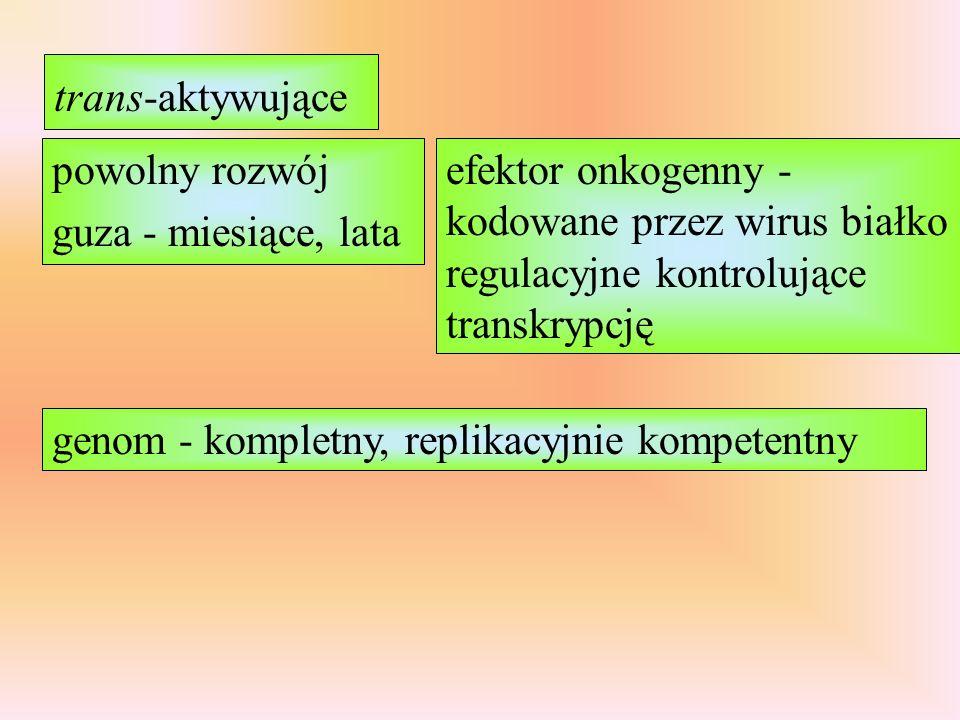 trans-aktywujące powolny rozwój guza - miesiące, lata efektor onkogenny - kodowane przez wirus białko regulacyjne kontrolujące transkrypcję genom - kompletny, replikacyjnie kompetentny