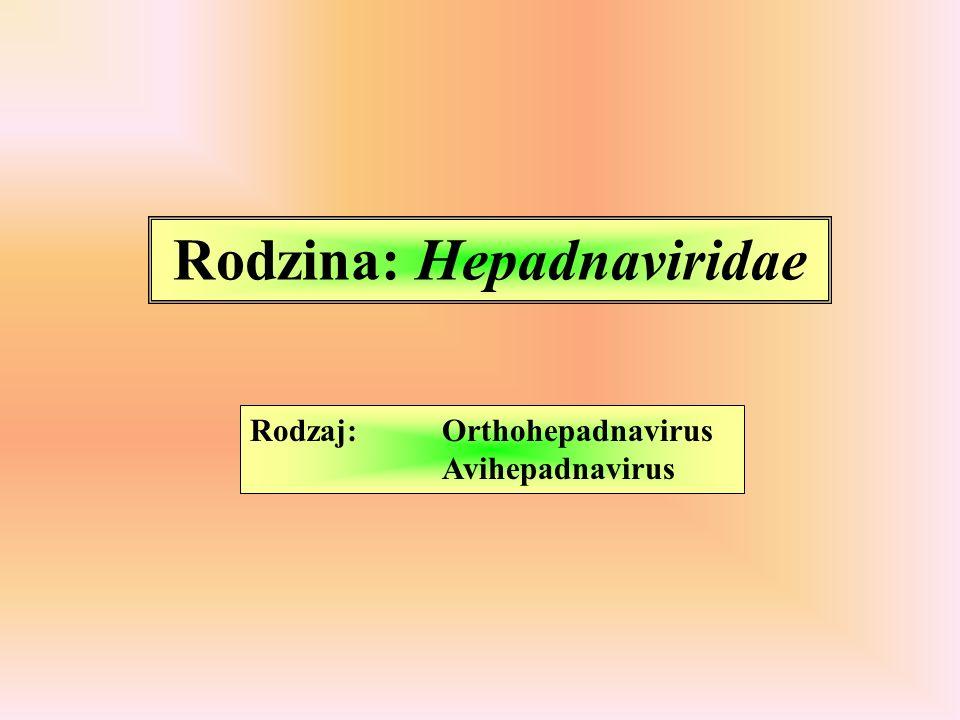 Rodzina: Hepadnaviridae Rodzaj: Orthohepadnavirus Avihepadnavirus