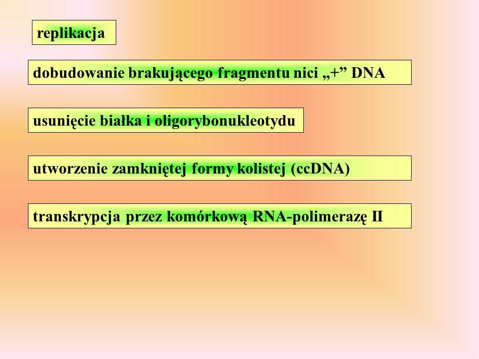 replikacja dobudowanie brakującego fragmentu nici + DNA usunięcie białka i oligorybonukleotydu utworzenie zamkniętej formy kolistej (ccDNA) transkrypcja przez komórkową RNA-polimerazę II