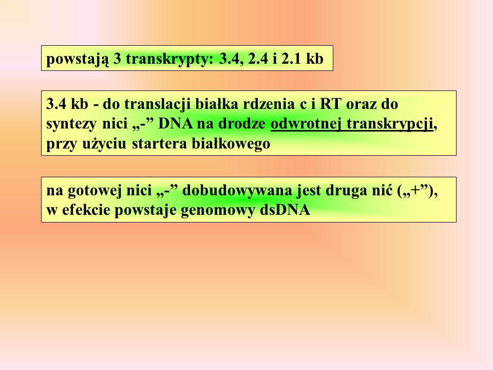 powstają 3 transkrypty: 3.4, 2.4 i 2.1 kb 3.4 kb - do translacji białka rdzenia c i RT oraz do syntezy nici - DNA na drodze odwrotnej transkrypcji, przy użyciu startera białkowego na gotowej nici - dobudowywana jest druga nić (+), w efekcie powstaje genomowy dsDNA