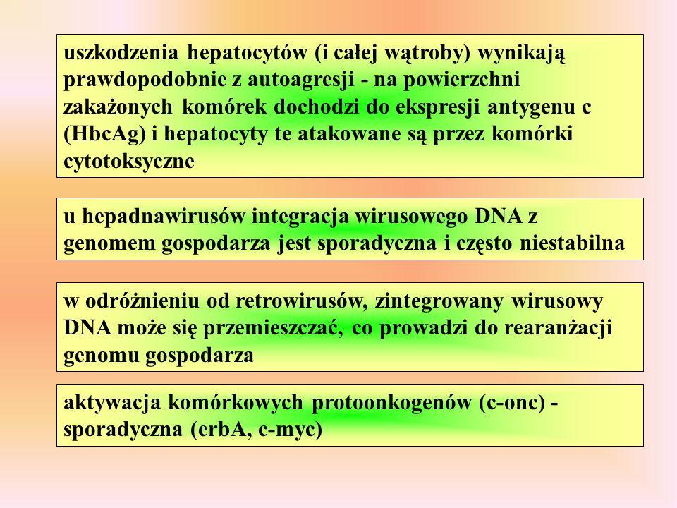 uszkodzenia hepatocytów (i całej wątroby) wynikają prawdopodobnie z autoagresji - na powierzchni zakażonych komórek dochodzi do ekspresji antygenu c (HbcAg) i hepatocyty te atakowane są przez komórki cytotoksyczne u hepadnawirusów integracja wirusowego DNA z genomem gospodarza jest sporadyczna i często niestabilna w odróżnieniu od retrowirusów, zintegrowany wirusowy DNA może się przemieszczać, co prowadzi do rearanżacji genomu gospodarza aktywacja komórkowych protoonkogenów (c-onc) - sporadyczna (erbA, c-myc)