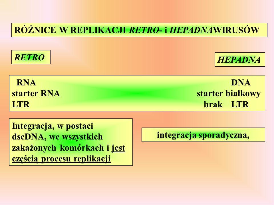 RÓŻNICE W REPLIKACJI RETRO- i HEPADNAWIRUSÓW RETRO HEPADNA RNADNA starter RNA starter białkowy LTRbrakLTR Integracja, w postaci dscDNA, we wszystkich zakażonych komórkach i jest częścią procesu replikacji integracja sporadyczna,