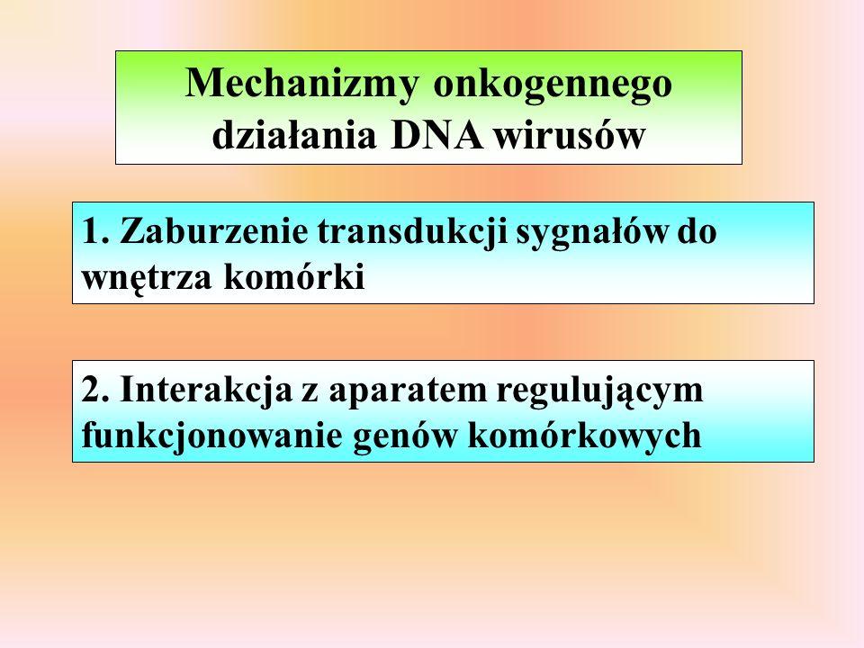 Transdukujące szybki rozwój guza - dni efektor onkogenny - onkogen komórkowy wbudowany w genom wirusa genom - chimera komórkowo-wirusowa, replikacyjnie defektywny