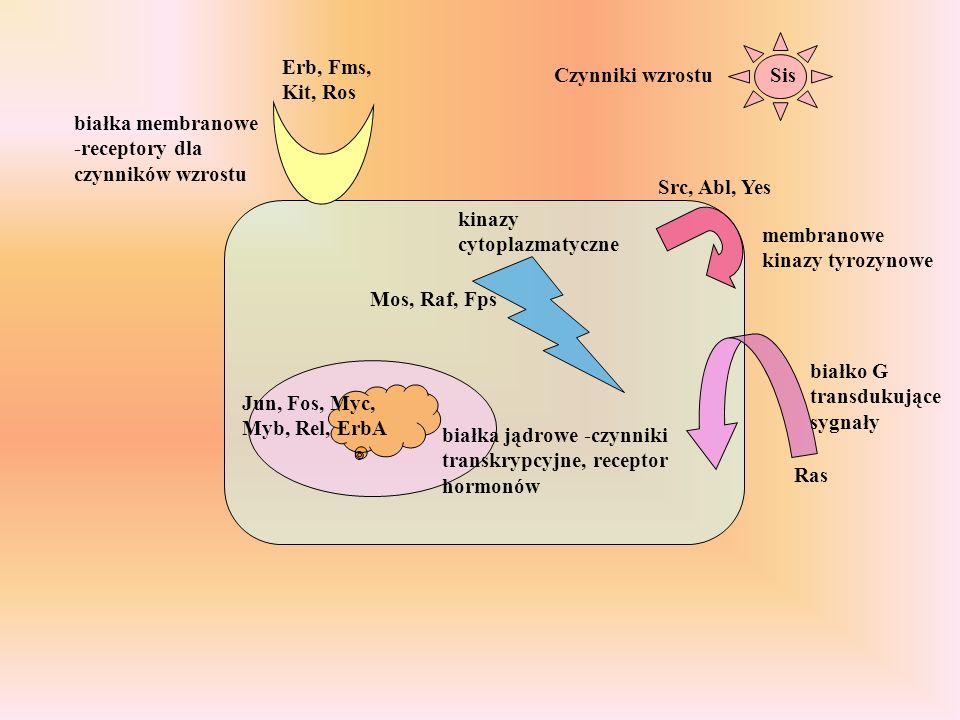 Czynniki wzrostu białka membranowe -receptory dla czynników wzrostu membranowe kinazy tyrozynowe białko G transdukujące sygnały kinazy cytoplazmatyczne białka jądrowe -czynniki transkrypcyjne, receptor hormonów Sis Erb, Fms, Kit, Ros Src, Abl, Yes Ras Mos, Raf, Fps Jun, Fos, Myc, Myb, Rel, ErbA